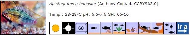 Apistogramma hongsloi