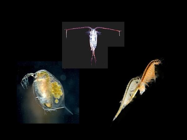 Copepodos cladoceros