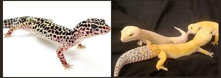 Eublepharis nominal y albinos