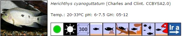 Herichthys cyanoguttatum