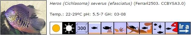 Heros (Cichlasoma) severus (efasciatus)