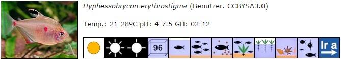 Hyphessobrycon erythrostigma