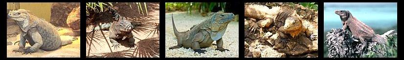 Iguanas terrestres