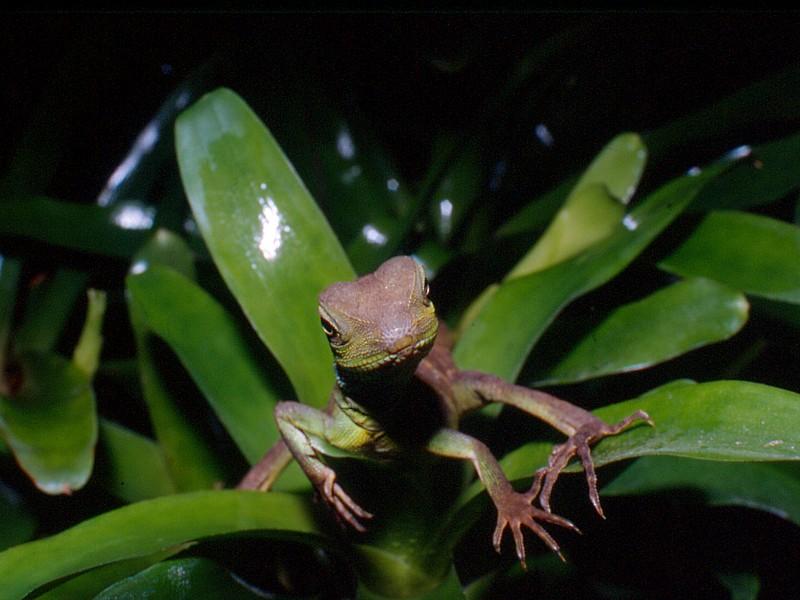Phisygnatus baby