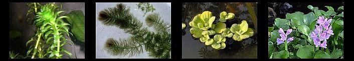 Plantas acuáticas y flotantes