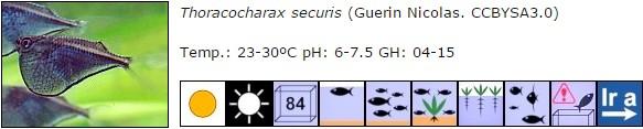 Thoracocharax securis
