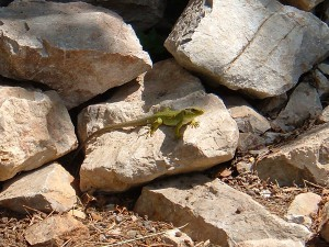 Timon lepida en roquedal