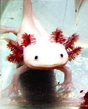 Ajolote albino