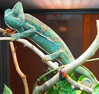 Chamaeleo calyptratus, hembra