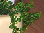 Ficus pumilla, repens