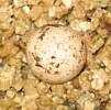 Uroplatus sikorae, huevo