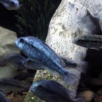 Haplochromis degeni mini