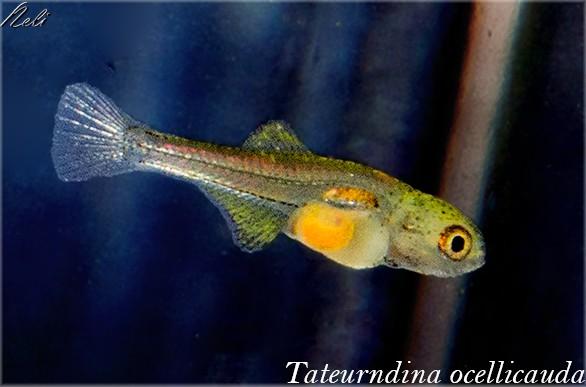 T. ocellicauda, alevín