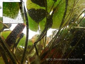 Zooplancton bajo Nymphaea sp.